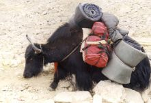 Yaks dragging up Mt. Kailash