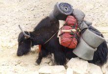 Yaks dragging up Mt. Kailash