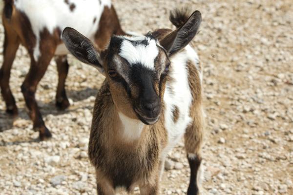 PARCO NATURA VIVA山羊羔