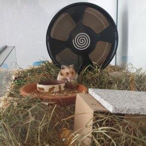 Hamster-mit-Nagerpraline