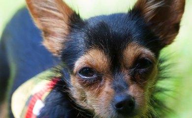 Hund-Ohrenreinigung