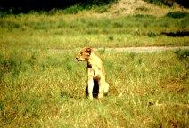 einsame Löwin