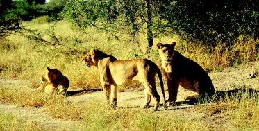 Weibliche Löwen auf der Pirsch mit Blick...