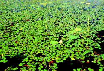 Der Seerosenteich von Monet