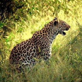 singender Leopard