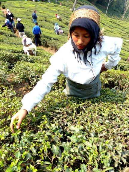 Teepflückerin in Darjeeling