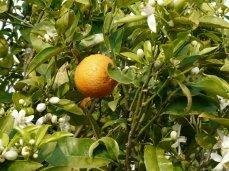 2 Mal Orangenernte im Jahr