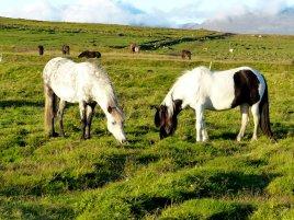 Islandpferde auf der Weide - Island