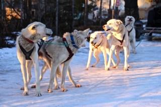 churchill-kanada-husky