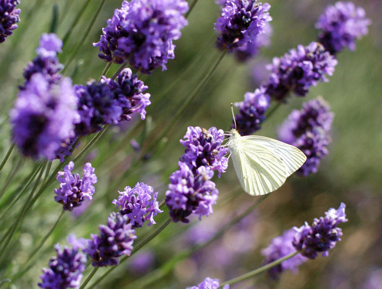 Lavendel Aussaen Lavendel Vermehren 2020 04 11