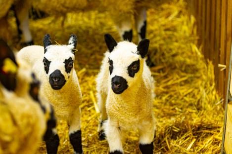 Auch bei den Schafen gibt es Nachwuchs