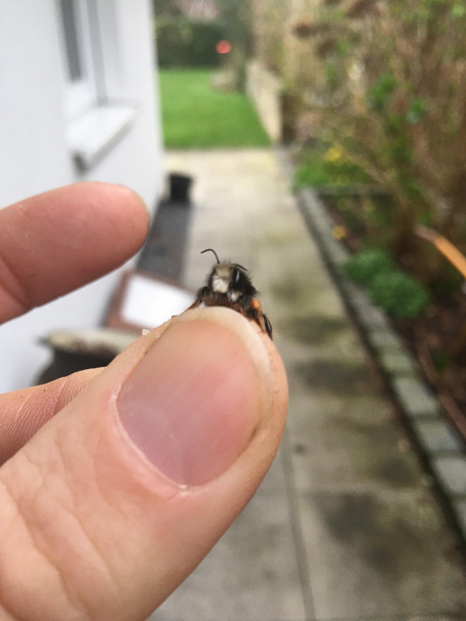 Die erste gehörnten Mauerbienen in 2020