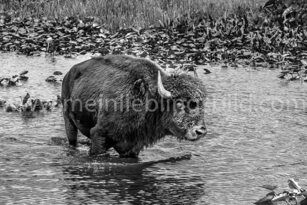 Wasserbüffel Foto schwarzweiß