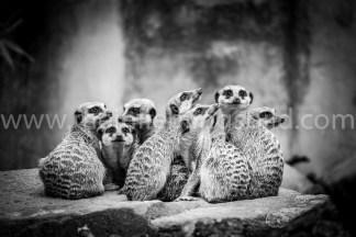 Erdmännchen Foto schwarzweiß