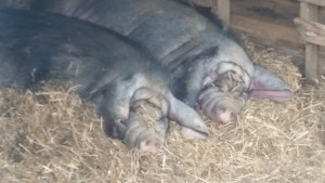 Meishan Pigs From Gods Blessing Farm