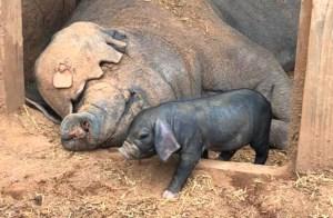 Meishan Piglets to Meishan Pork
