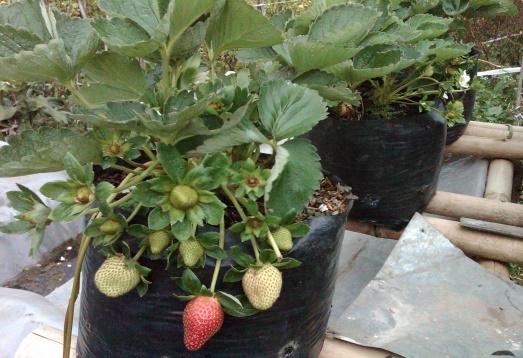 Pertanian: Aplikasi Bioboost Pada Tanaman Strawberry