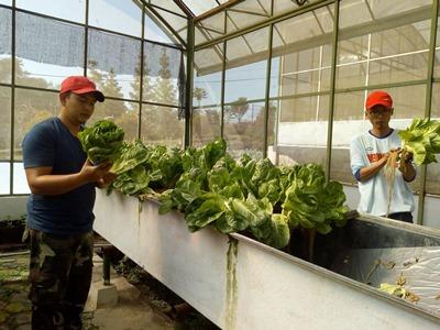 Pertanian: Budidaya Selada Romaine melalui Teknik Penanaman Aeroponik