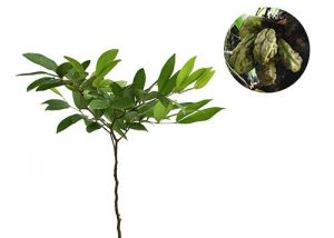 10 Cara Menanam Pohon Kersen di Rumah (Panduan Lengkap) | Artikel Pertanian