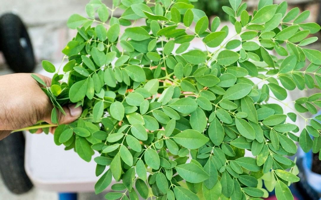11 Cara Menanam Kelor dari Biji (Panduan Lengkap) | Artikel Pertanian