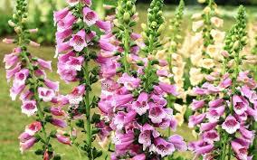 7 Cara Menanam Bunga Foxglove Dari Biji | Artikel Pertanian