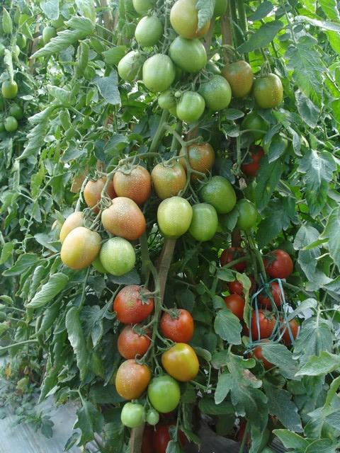 Pertanian: Teknik Budidaya Tanaman Tomat (Solanum lycopersicum)