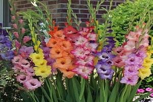 4 Cara Menanam Umbi Bunga Gladiol dan Perawatannya | Artikel Pertanian