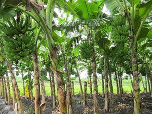 6 Cara Merawat Pohon Pisang Agar Berbuah Besar | Artikel Pertanian