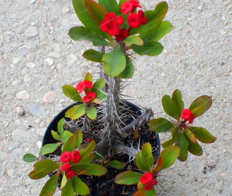 Cara Mudah dan Jitu Perkembangbiakan Tanaman Euphorbia Milii dengan Stek | Artikel Pertanian
