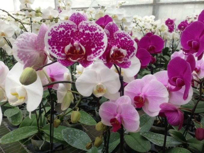 12 Cara Merawat Bunga Anggrek Agar Cepat Berbunga | Artikel Pertanian
