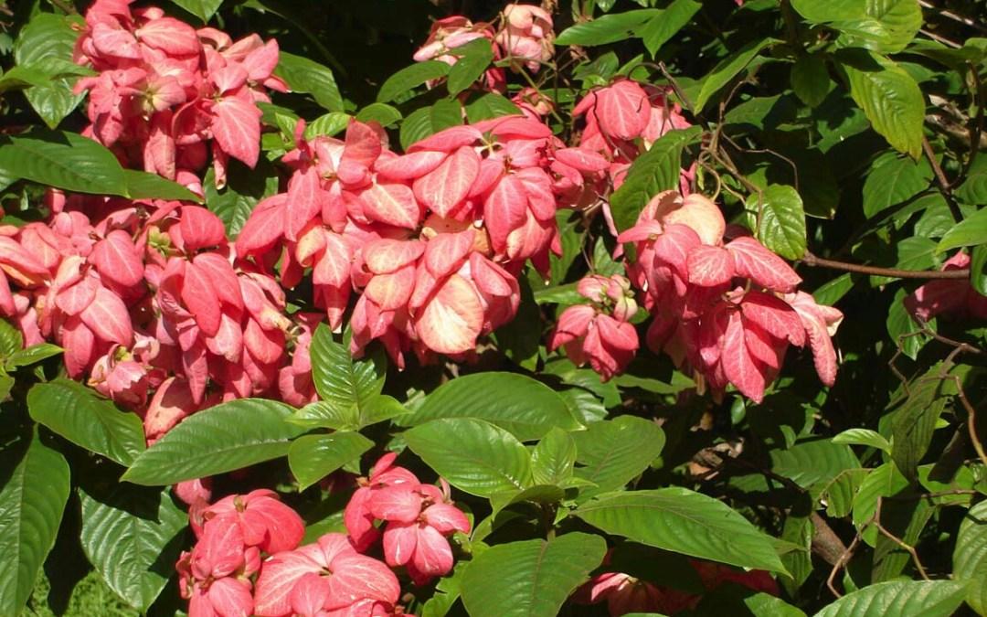 9 Cara Menanam Bunga Nusa Indah dengan Stek Batang | Artikel Pertanian
