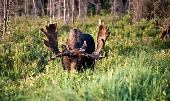On y est, la saison de la chasse à l'orignal débute ce week-end!
