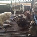 goat farm melaka umbai