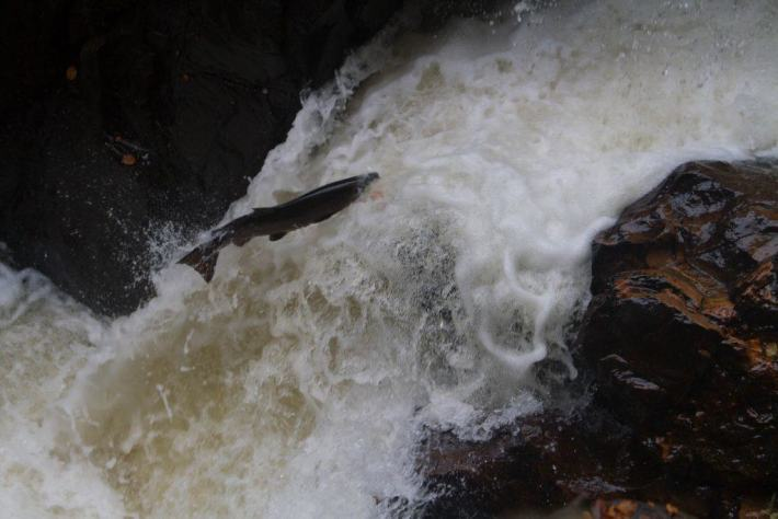 Salmon Leaping, The Hermitage, Perthshire. Scottish Travel Tips