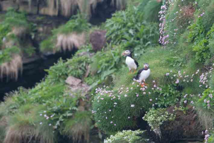 Puffins, Scotland wildlife