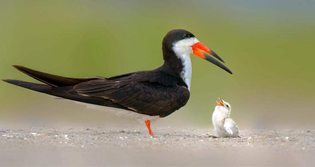 Texas Parks & Wildlife – Saving Black Skimmers