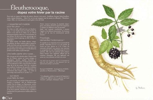 illustration-eleutherocoque-melanie-voituriez
