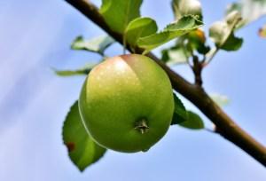 apple, apple tree, fruit