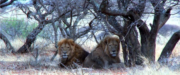 Wild managed/introduced lion hunting on a private nature reserve in South Africa with Limcroma Safaris and Melcom Van Staden Productions