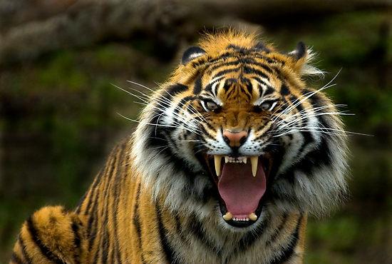 Resultado de imagem para o olho do tigre