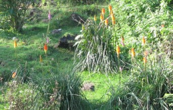 Red Hot Poker Flower in the wild