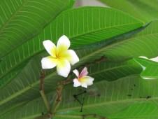 White Frangipani (or) White Plumeria