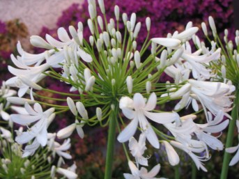 Closeup view of White Agapanthus Flowers