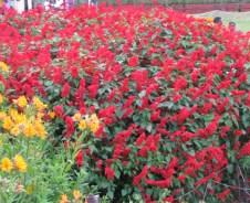 Red Salvia Plants