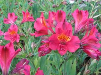 Closeup view of Alstromeria Flowers
