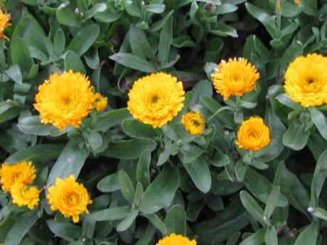 Yellow Calendula Flowers
