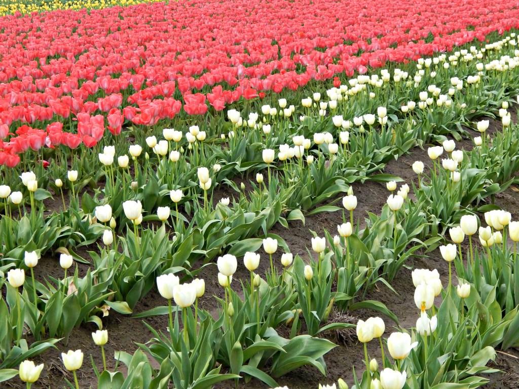 woodburn-tulip-festical-19