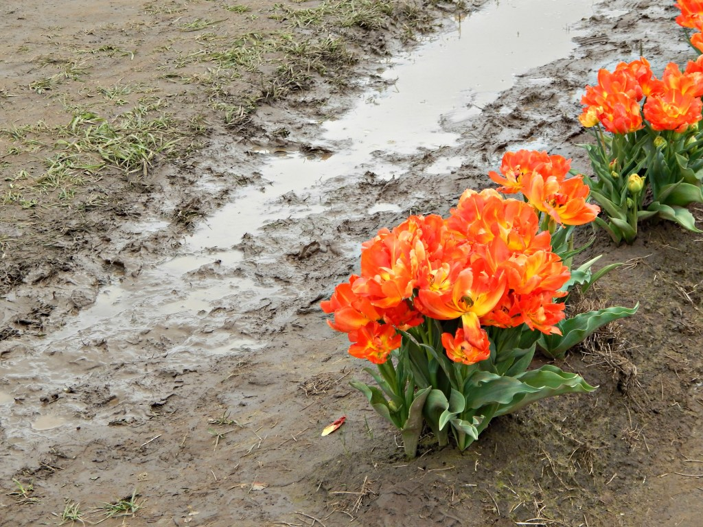 woodburn-tulip-festival-30
