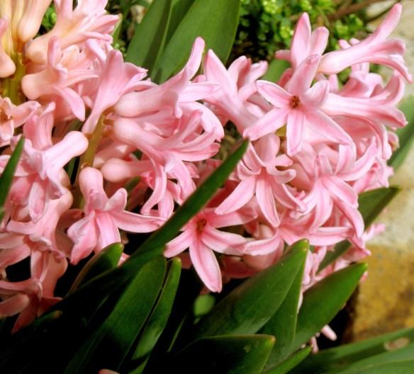 The First Stirrings - hyacinths