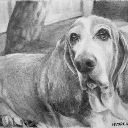 "Buddy, 2013, Basset Hound Portrait, Graphite Pencil Drawing on Paper, 5""x7"""